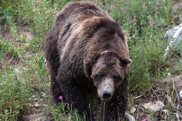 cazador-mata-oso-emblematico2