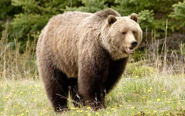 cazador-mata-oso-emblematico3