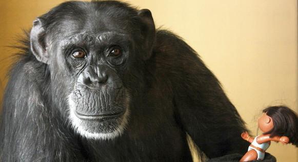 chimpance-foxie-1