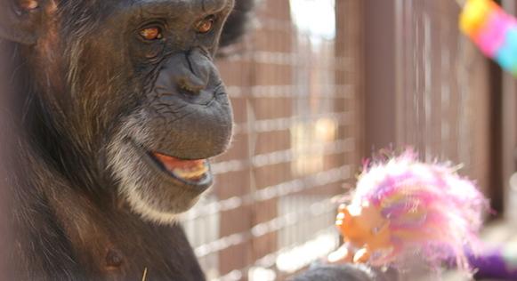 chimpance-foxie-3