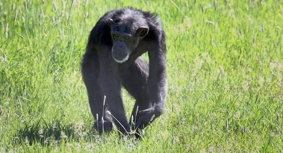chimpance-foxie-4