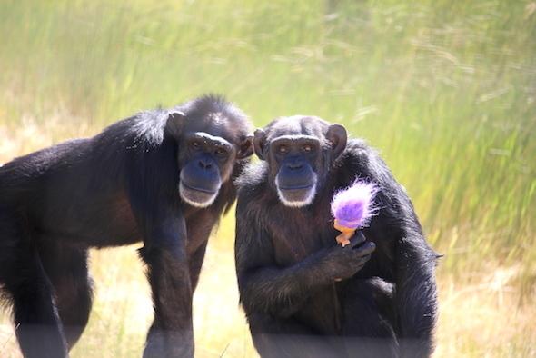 chimpance-foxie-5