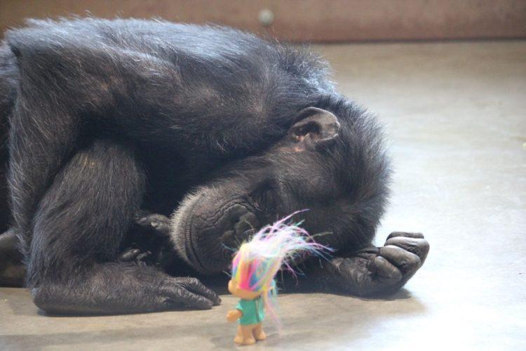 chimpance-foxie-6