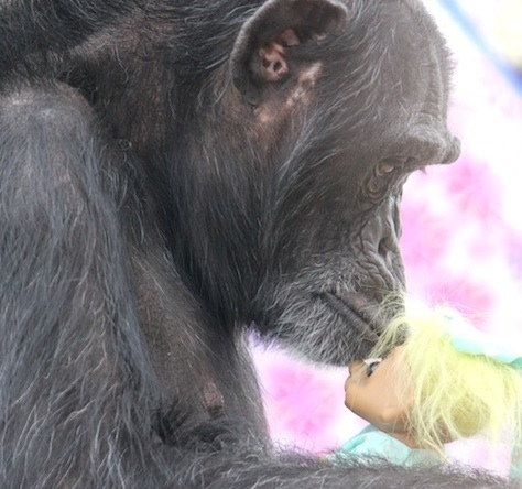 chimpance-foxie-7