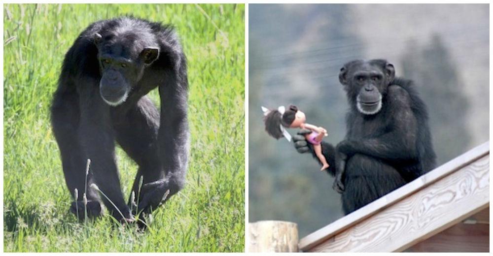chimpance-foxie