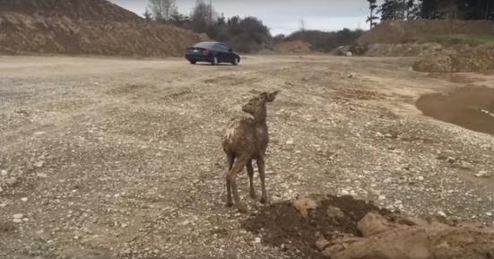 ciervo-rescatado10