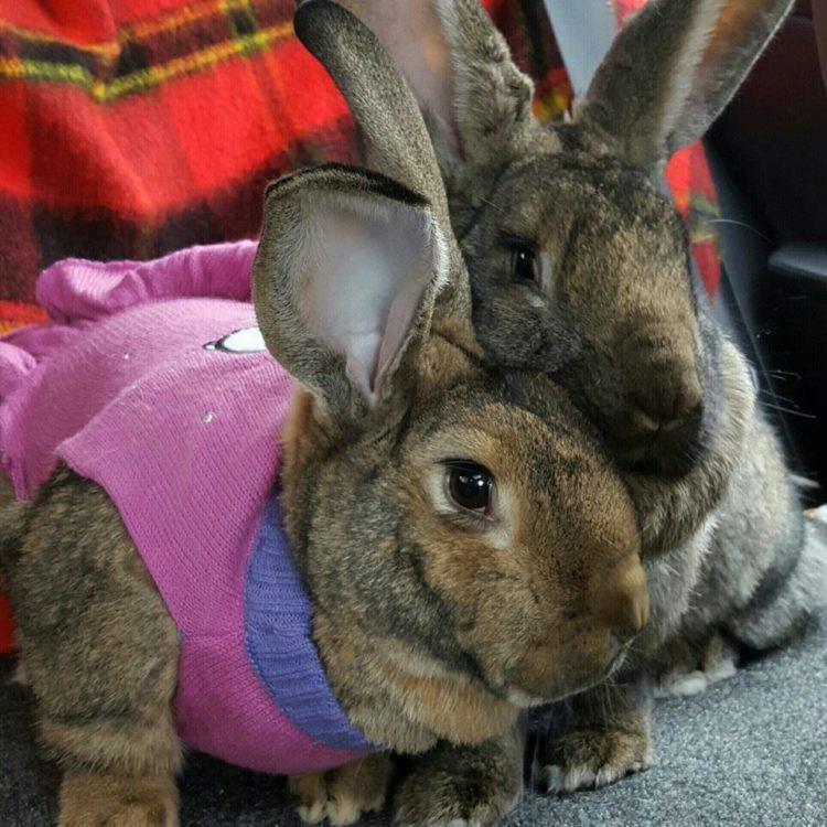 conejos-gigantes-rescatadas12 - copia