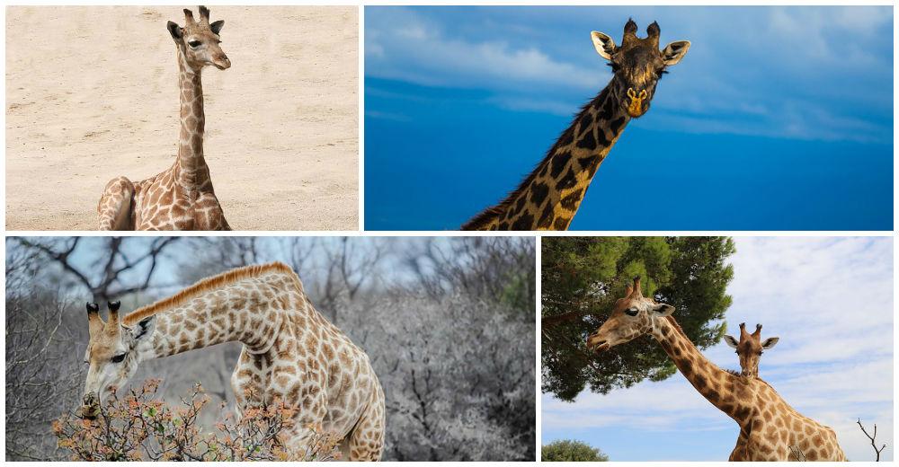descubrimiento-cuello-jirafa