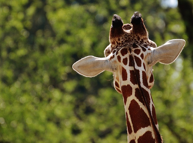 descubrimiento-genetica-jirafa1