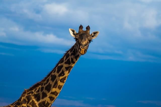 descubrimiento-genetica-jirafa2