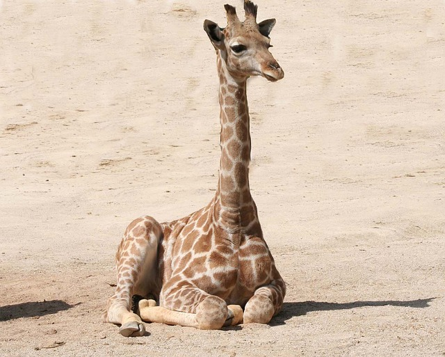 descubrimiento-genetica-jirafa3