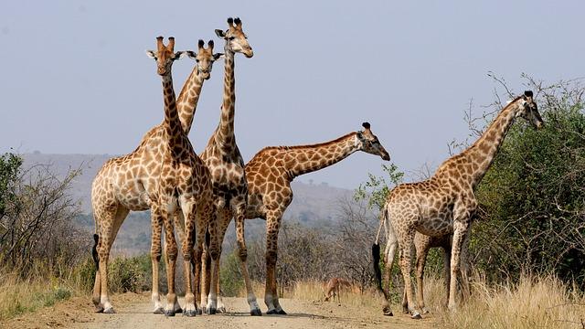 descubrimiento-genetica-jirafa4