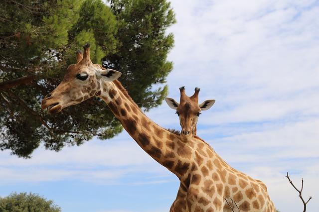 descubrimiento-genetica-jirafa5