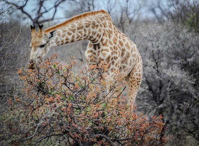 descubrimiento-genetica-jirafa6