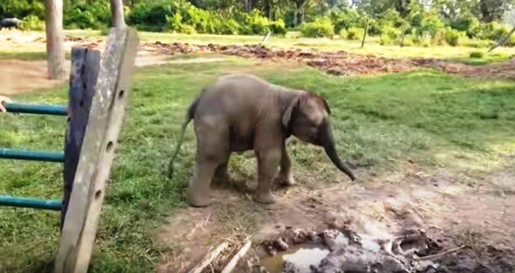 elefante-bebe-corre-por-su-vida3
