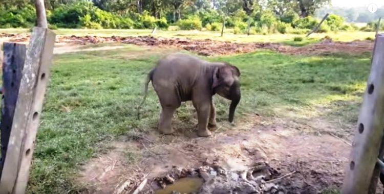 elefante-bebe-corre-por-su-vida4