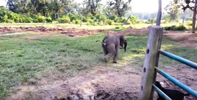 elefante-bebe-corre-por-su-vida6