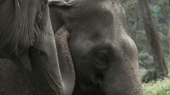 elefante-ciego-pierde-a-su-amigo4