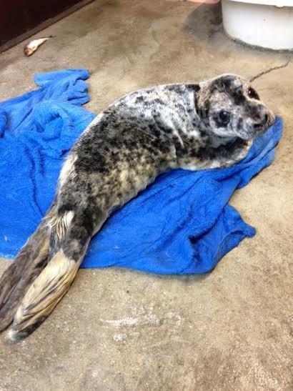 foca rescatada ama su tina 10