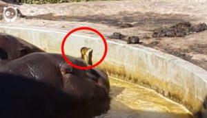hipopotamos-rescatan-a-patito - copia