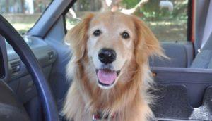 ley-de-perros-en-los-carros-florida1 - copia