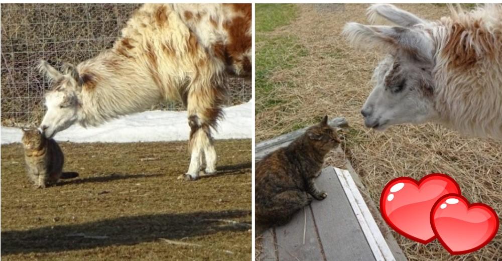 llama-y-gato-amigos