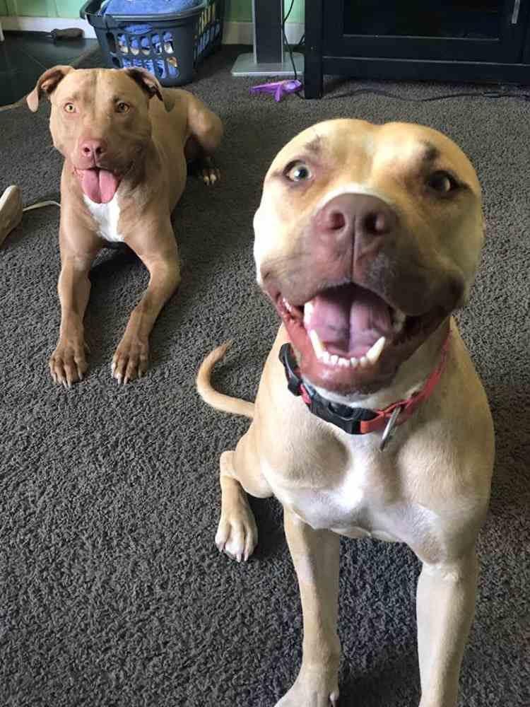niño conquista confianza pitbull rescatada 5