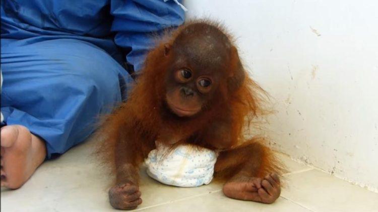 orangutan-bebe-traumatizado1