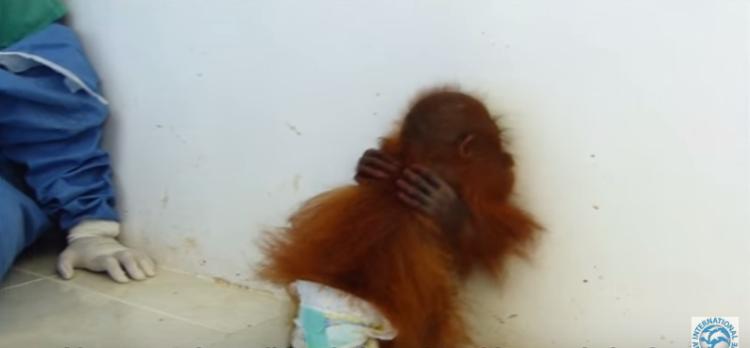 orangutan-bebe-traumatizado2