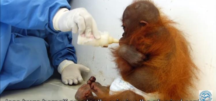 orangutan-bebe-traumatizado4