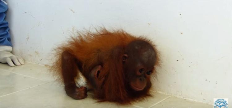 orangutan-bebe-traumatizado5