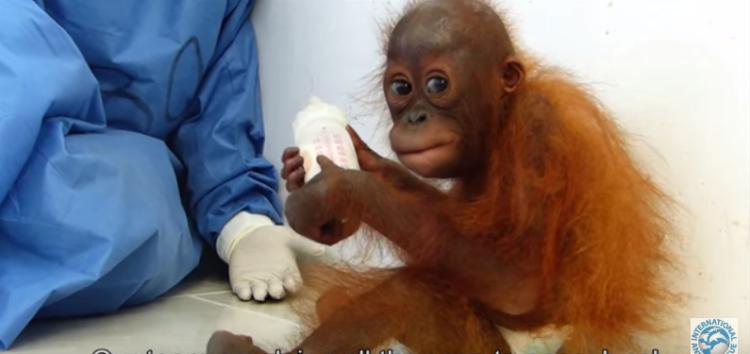 orangutan-bebe-traumatizado6