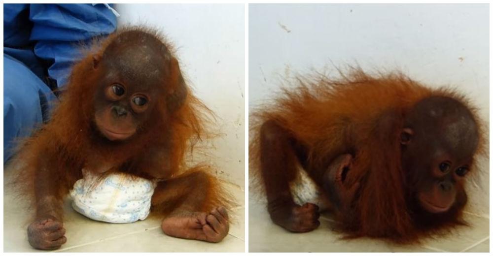 orangutan-traumatizado