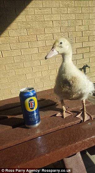 pato-que-sigue-a-su-familia14