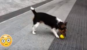 perro-jugando-con-su-pelota-solo - copia