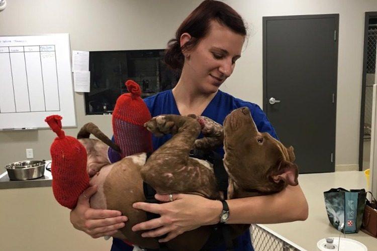 rambo-pitbull-rescatado1
