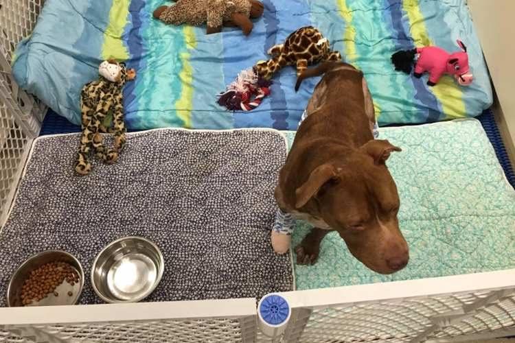 rambo-pitbull-rescatado2