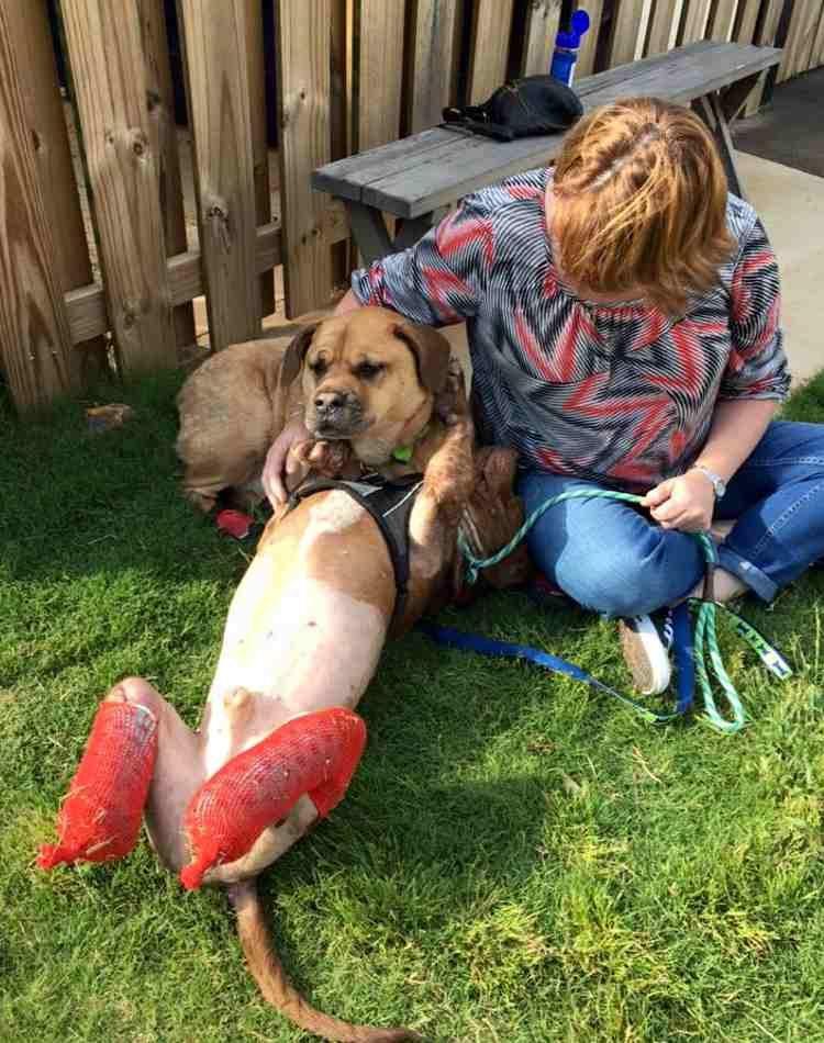 rambo-pitbull-rescatado6
