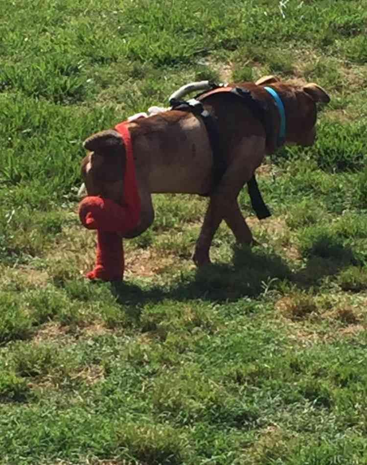 rambo-pitbull-rescatado7