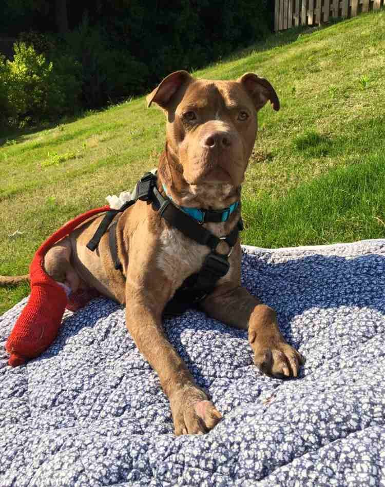 rambo-pitbull-rescatado8