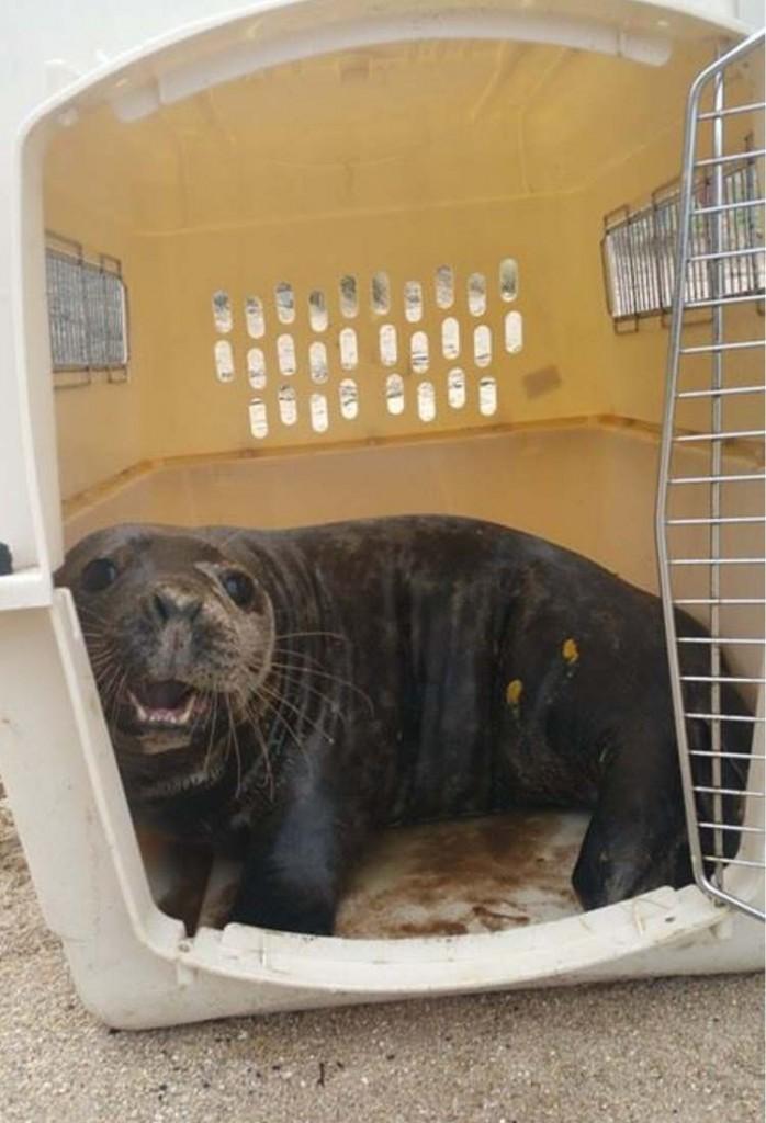 rescate-de-foca3