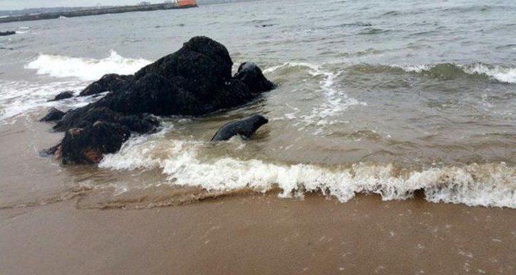 rescate-de-foca6