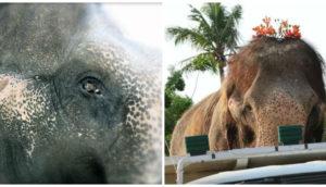 sontoya-elefante-rescatado