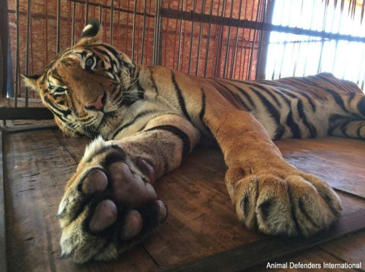 tigre hoover rescatado 1