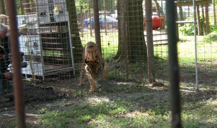 tigre hoover rescatado 2