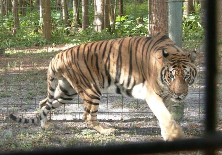 tigre hoover rescatado 3