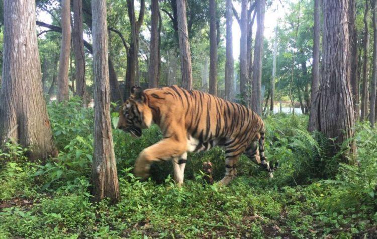 tigre hoover rescatado 4