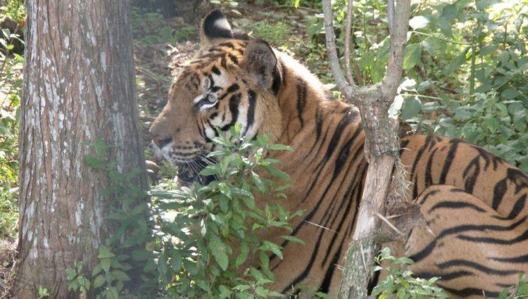 tigre hoover rescatado 5