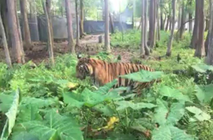 tigre hoover rescatado 6
