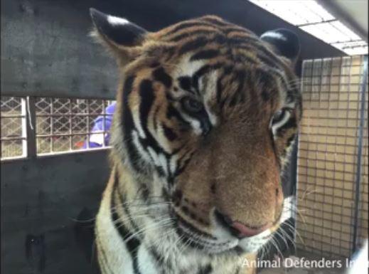 tigre hoover rescatado 8
